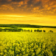 Rapeseed field — Stock Photo #39900407