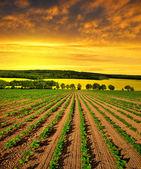 świeżo zasiane słonecznikowe pole — Zdjęcie stockowe