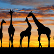 Herd of giraffes — Stock Photo #40149349