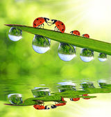 Ladybugs sitting on the dewy grass — Stock Photo