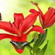 Lily with butterflies — Stock Photo #40156699