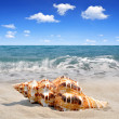 Conch shell — Stock Photo #41028263