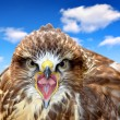 Common Buzzard — Stock Photo