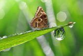 Dew and butterfly Morpho — ストック写真