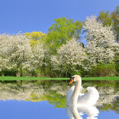 Swan on water level — ストック写真