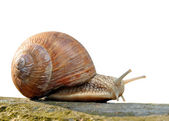 Garden snail — Stock Photo