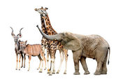 Giraffes, Kudu and Elephant — Foto Stock