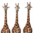 Giraffes — Stock Photo #43760597