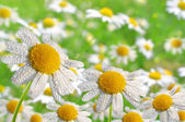 Dewy daisies — Stock Photo