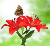 лили с бабочка и божья коровка — Стоковое фото