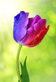 Dewy colorful tulip — Stock Photo