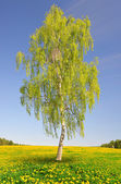 Birch tree — Stock Photo