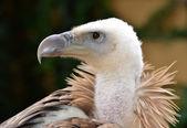 Griffon Vulture — Stock Photo