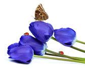 Fresh blue tulips — Foto Stock