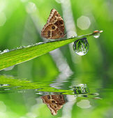 Dew and butterfly Morpho — Stock Photo