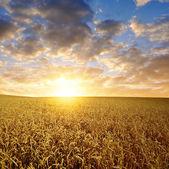 Golden wheat — Stock Photo