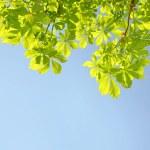 Chestnut tree — Stock Photo #48542943