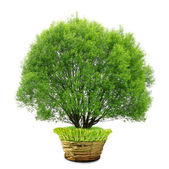 Tree in pot — Stock Photo