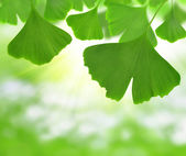 Ginkgo biloba — Stock Photo