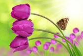 Fresh purple tulips — Stock Photo
