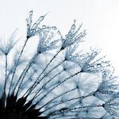 Dandelion orvalhada — Foto Stock