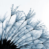 Dewy dandelion — Stock Photo