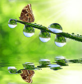 Dew and butterfly — Stock Photo