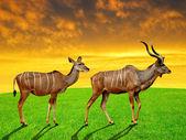 Greater kudu — Stock Photo