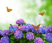 Hydrangea with butterflies — Stock Photo