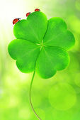 Green clover leaf — Stock Photo