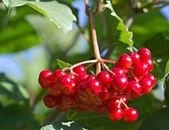 Red berries on a viburnum bush — Stock Photo
