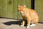 The rufous male cat — Stock Photo