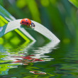 The ladybird on the plant over the water surface with reflections — Stock Photo