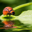 The  colorado beetle's larva over the water surface with reflections — Stock Photo