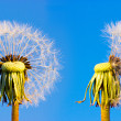 Two closeup overblown dandelion heads — Stock Photo