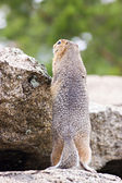 Ground squirell on the rock — Stock Photo