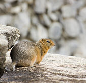 Gopher on the rock — 图库照片