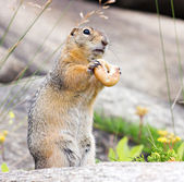 Gopher with bagel — Stock Photo