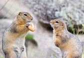 Two ground squirells on the rock — Stock Photo
