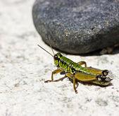 Green grashopper by summer — Stock Photo