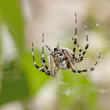 Cross spider — Stock Photo