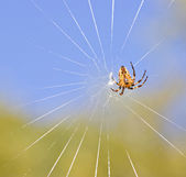 Cross spider on net by day — Stock Photo