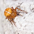 Stock Photo: Cross spider on stone by day