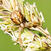 Brown spider on grass — Stock Photo