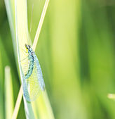 Lacewing on stem — Stock Photo