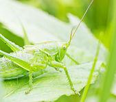 Grasshopper on stem — Stock Photo