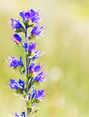 The plant with blue flowers — Stock Photo