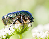 Green beetle on flower — Stock Photo