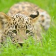 Young Leopard — Stockfoto