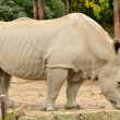 Stock Photo: Big Rhinoceros